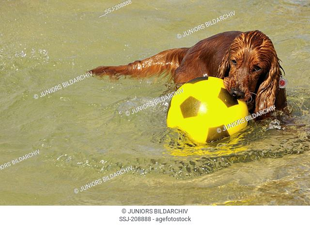 English Cocker Spaniel in water, playing with a ball. Germany