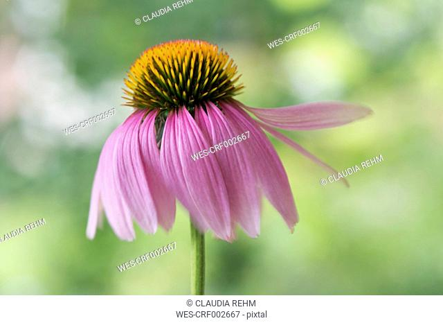 Blossom of pink coneflower