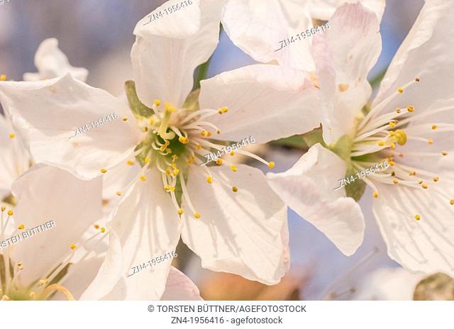 Cherry Blossoms in Municipal Park Bad Schallerbach. Austria