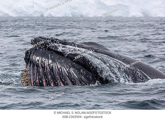 Adult humpback whale, Megaptera novaeangliae, lunge-surface feeding in Orne Harbor, Antarctica