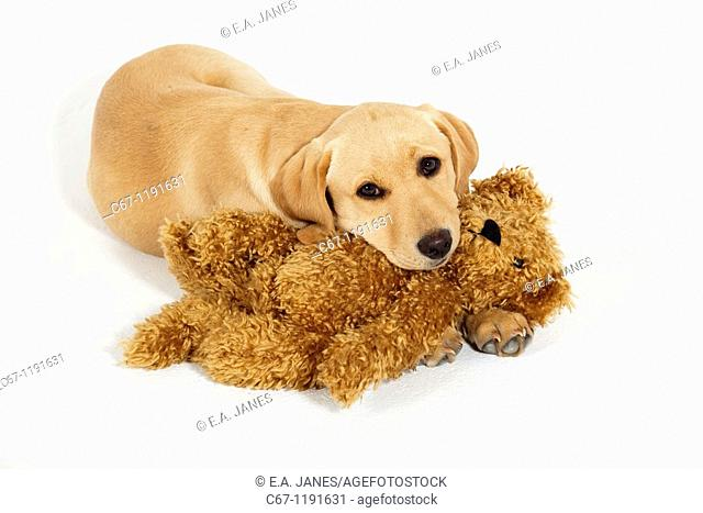 Yellow Labrador Puppy playing with cuddly Teddy Bear