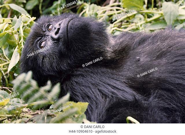 Mountain Gorilla, gorilla, ape, monkey, animal, Gorilla gorilla, beringei, Volcanoes, National Park, Rwanda, Africa
