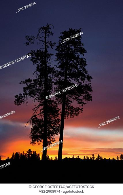 Ponderosa pine sunrise near Cabin Lake, Deschutes National Forest, Oregon