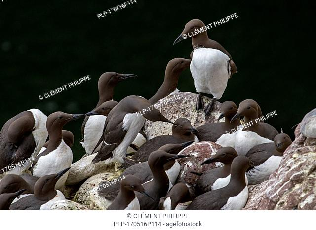 Densely packed breeding colony of common murres / common guillemots (Uria aalge) nesting in spring on rock ledges in sea cliff face, Scotland, UK