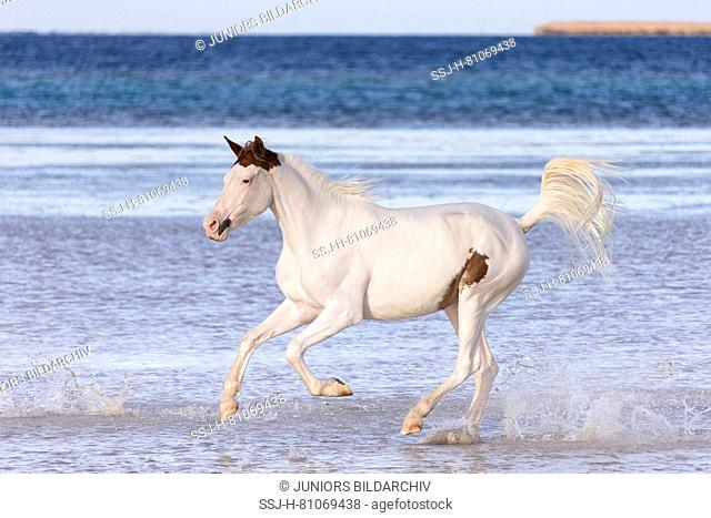 Pintabian. Juvenile mare galloping in shallow water. Egypt
