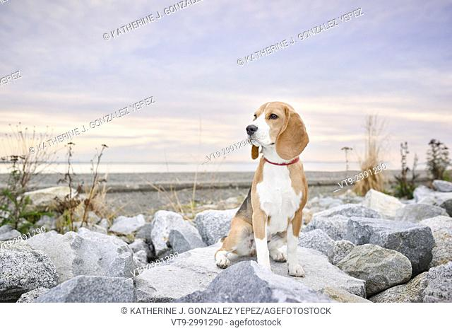 Outdoor portrait of a Beagel sitting on beach