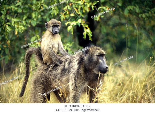 Baboon and infant, Kruger National Park, South Africa