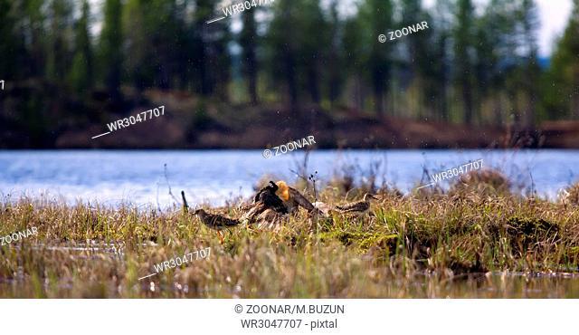 Pugnacious handsome 8. Ruffs fight in swamp