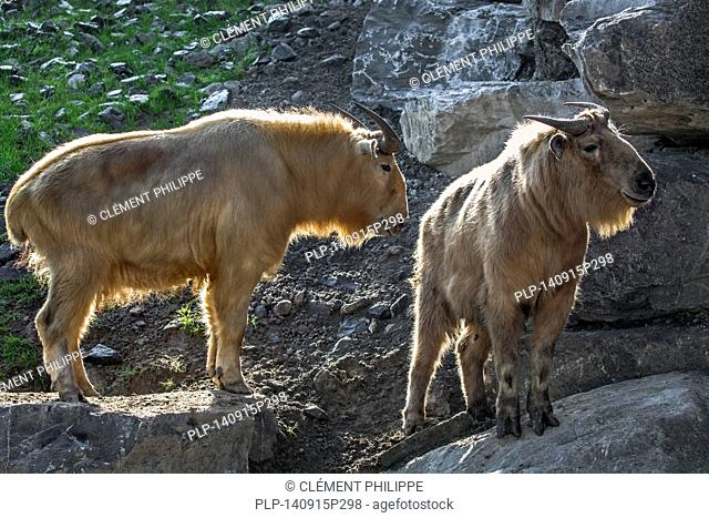 Two golden takins (Budorcas taxicolor bedfordi) in rock face, native to the Himalayan mountains