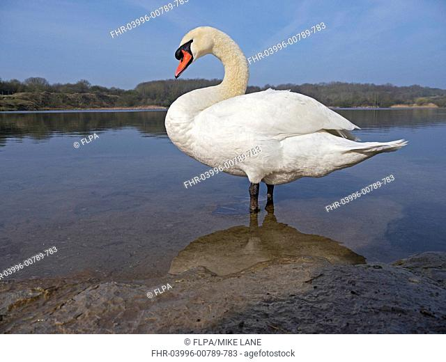 Mute Swan Cygnus olor adult, standing in shallow water at edge of lake, Glamorgan, Wales, march
