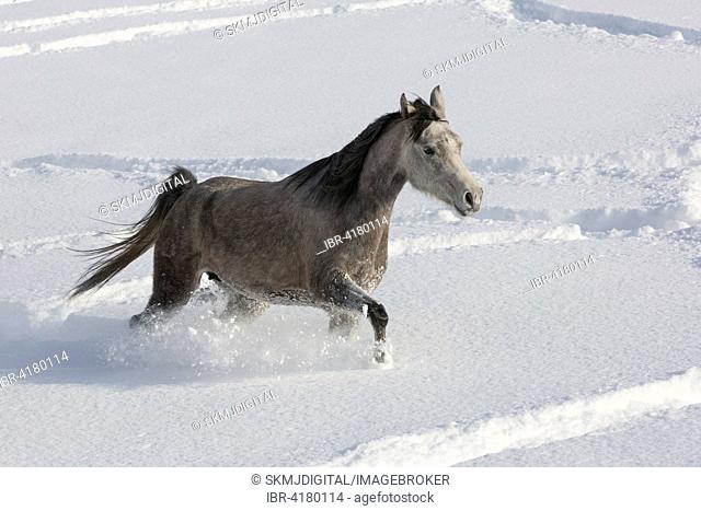Thoroughbred Arabian mare in the snow, Tyrol, Austria