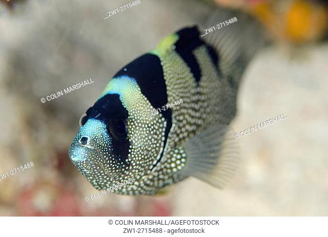 Spotted Soapfish (Pogonoperca punctata), Kalbur dive site, Forgotten Islands, Kalbur Island, near Tanimbar, Banda Sea, Indonesia