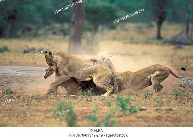 Lion Panthera leo Females killing Impala Kruger NP South Africa S