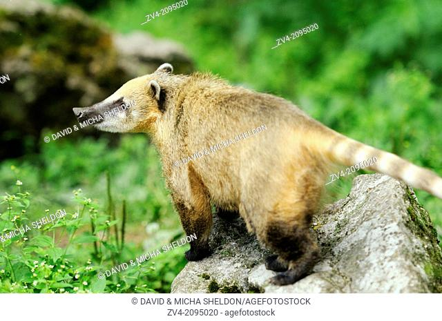 Close-up of a White-nosed coati (Nasua narica) standing on a rock