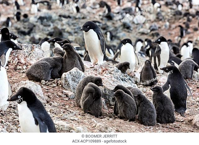 A large Adelie Penguin colony exists on Paulet Island, near the tip of the Antarctic Peninsula