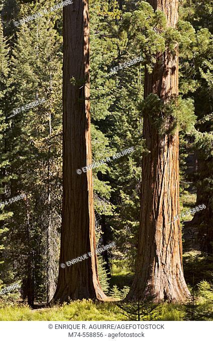 Giant Sequoias at Mariposa Grove, Yosemite NP, California, USA