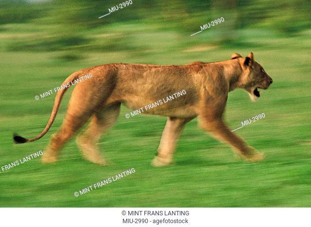 Lioness running, Panthera leo, Chobe National Park, Botswana