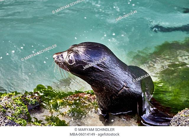 New Zealand, south island, Wharariki, local young fur seal in the water, young animal
