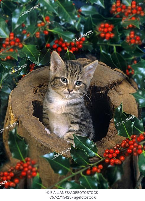 Tabby Kitten with holly at Christmas