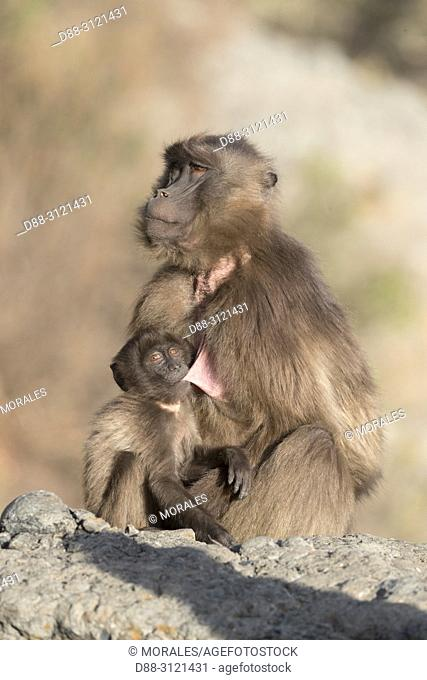/ Africa, Ethiopia, Rift Valley, Debre Libanos, Gelada or Gelada baboon (Theropithecus gelada), adult female with a young,