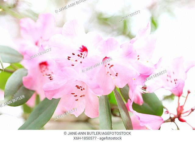 glorious spring pink azaleas, delicate and fresh