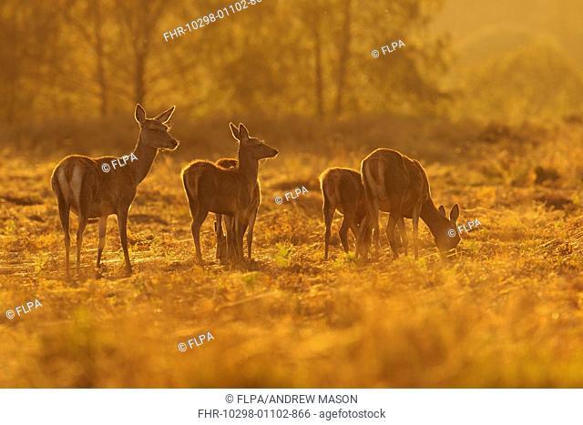 Red Deer (Cervus elaphus) hinds and calves, grazing, backlit at dusk, Bradgate Park, Leicestershire, England, October