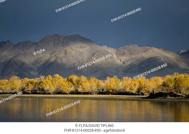 View of trees in autumn colour along river bank, River Khovd, Altai Mountains, Bayan-Ulgii, Western Mongolia, october