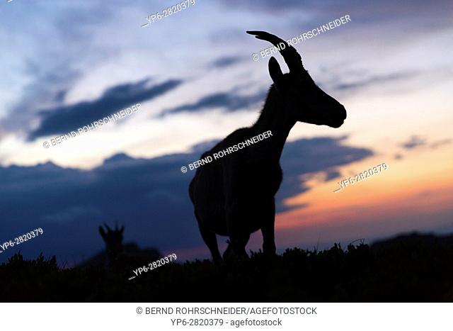 Alpine Ibex (Capra ibex), female at dusk, Niederhorn, Bernese Oberland, Switzerland