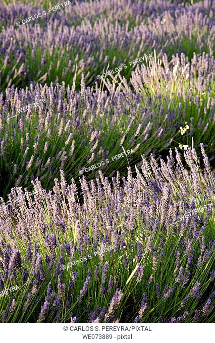 Lavender around Sault, in Provence, France
