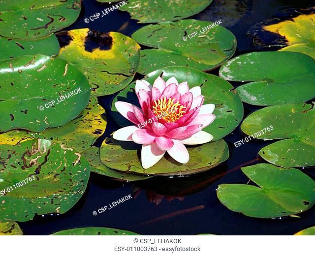 Beautiful pink water lily