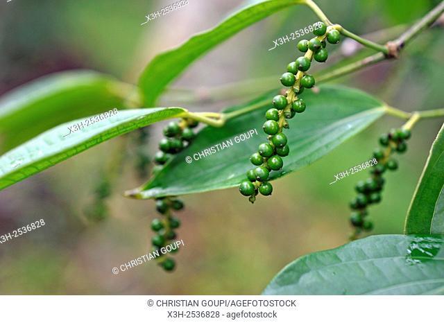 pepper, Black Pepper, Piper nigrum, Kumily, Kerala state, South India, Asia