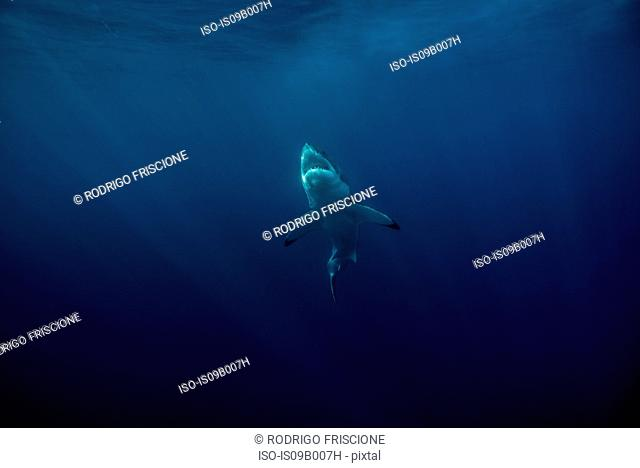 Great white shark (Carcharodon Carcharias) swims near surface of ocean