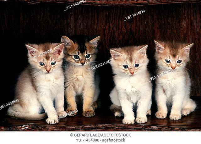 FAWN SOMALI DOMESTIC CAT, KITTENS SITTING