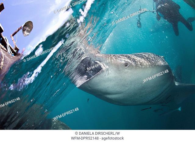 Feeding Whale Shark, Rhincodon typus, Cenderawashi Bay, West Papua, Indonesia