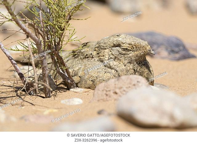 Egyptian Nightjar (Caprimulgus aegyptius saharae), close-up of an adult resting under a small tamarisk in Morocco