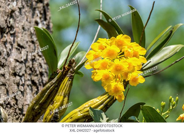 Yellow Orchid growing on a tree, Chiang Rai, Thailand