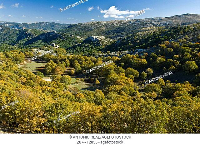 Oakwood (Quercus pyrenaica). Calar del Mundo. Albacete. Spain
