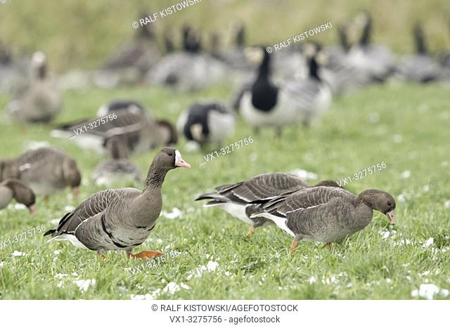 Greater White-fronted Geese ( Anser albifrons ) together with Barncle Geese ( Branta leucopsis ), common flock in winter, feeding, wildlife, Europe