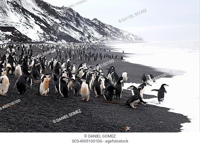 Chinstrap penguins Pygoscelis antarctica on beach, near largest Chinstrap colony known, Deception Island, Antarctic Peninsula RR