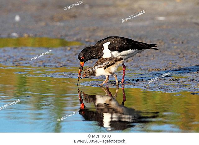 palaearctic oystercatcher (Haematopus ostralegus), adult with juvenile looking for food in shallow water, Netherlands, Texel