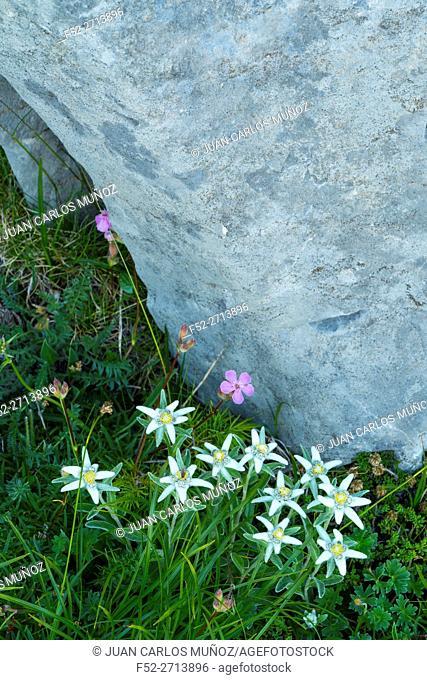 EDELWEISS - FLOR DE LOS NIEVES (Leontopodium alpinum), Ordesa y Monte Perdido National Park, Huesca, Aragon, Spain, Europe