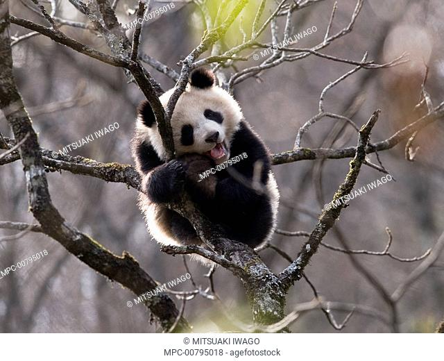 Giant Panda (Ailuropoda melanoleuca) cub resting in tree, China