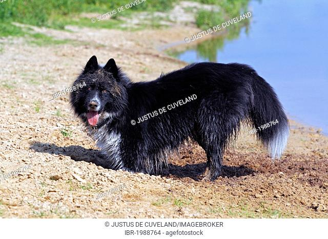 Male dog (Canis lupus familiaris), half breed, digging a hole at the waterside