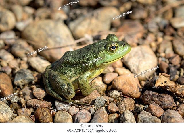 American Bullfrog (Lithobates catesbeianus), Lake Superior Provincial Park, Ontario, Canada
