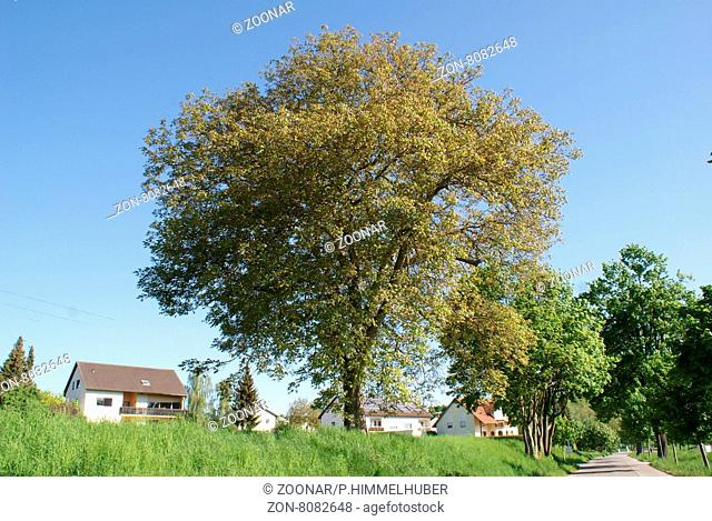 Juglans regia, Walnuss, Walnut, großer Baum im Frühjahr