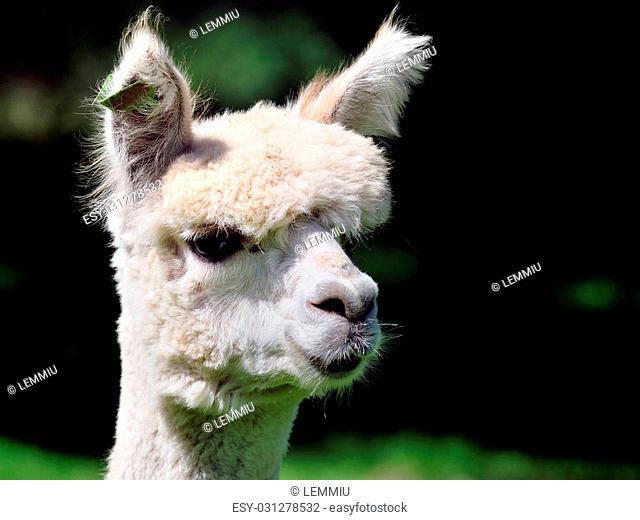 head from a cute alpaca