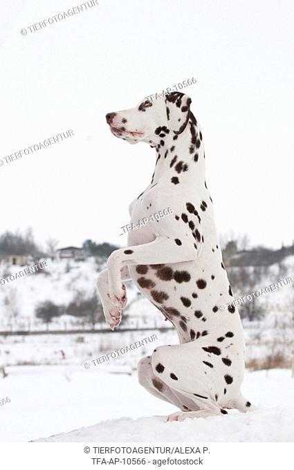 Dalmatian shows trick