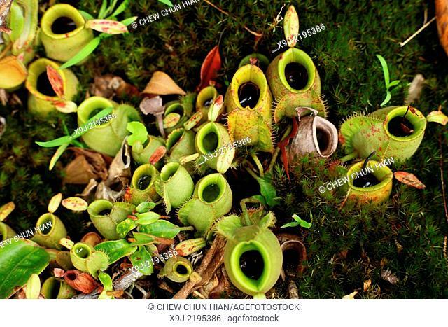 Pitcher Plant, Nepenthes Ampullaria, Borneo