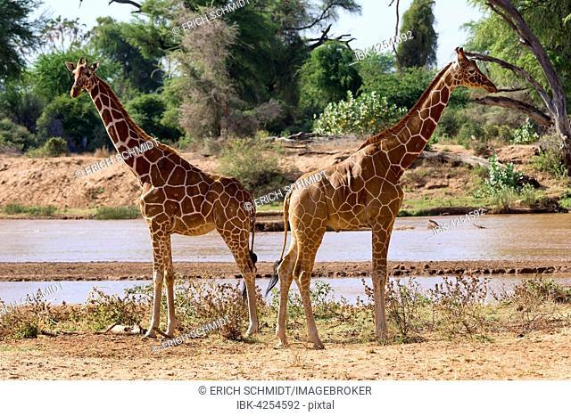 Reticulated giraffes or Somali giraffes (Giraffa reticulata camelopardalis) by river, Samburu National Reserve, Kenya
