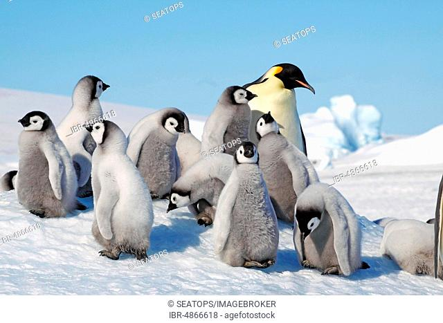 Emperor penguins (Aptenodytes forsteri), penguin colony in the ice, adult with young, Antarctic